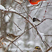 Blushing Red Cardinal In The Snow Poster