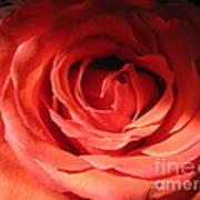 Blushing Orange Rose 3 Poster