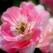 Blushing Spring Tulip Poster