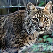 Bobcat Beauty Poster