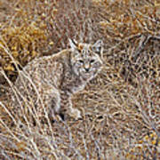 Bobcat In Brush Poster