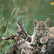Bobcat Kitten Resting On A Log Idaho Poster