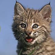 Bobcat Kitten Poster by Tim Fitzharris