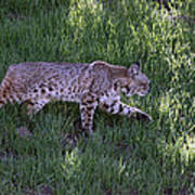 Bobcat On The Move Poster