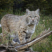Bobcat On The Prowl Poster