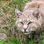Bobcat Stalking Poster by Sylvie Bouchard