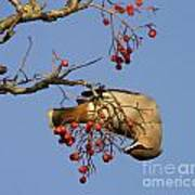 Bohemian Waxwing Eating Rowan Berries Poster