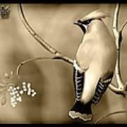 Bohemian Waxwing In Sepia Poster