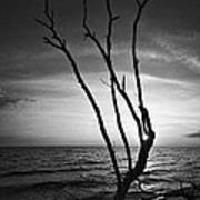 Bonita Beach Tree Black And White Poster