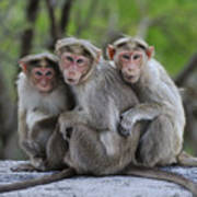 Bonnet Macaque Trio Huddling India Poster