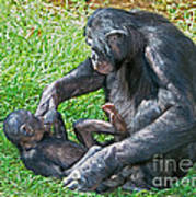 Bonobo Adult Playing With Baby Poster