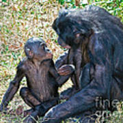 Bonobo Adult Talking To Juvenile Poster