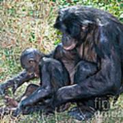 Bonobo Adult Tickeling Juvenile Poster