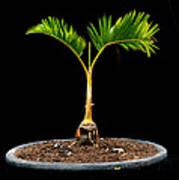 Bonsai Palm Tree Poster