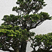 Bonsai Pine Poster