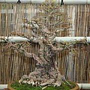 Bonsai Treet - Us Botanic Garden - 01136 Poster by DC Photographer