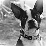 Boomer Boston Terrier Poster