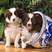 Border Collie Puppies In Plant Pot Poster
