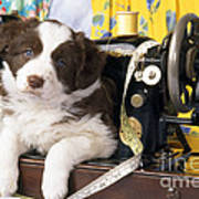 Border Collie Puppy With Sewing Machine Poster