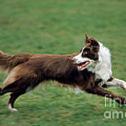 Border Collie Running Poster
