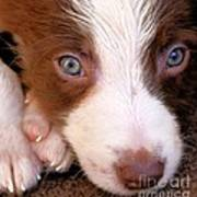 Border Collie Tan And White Pup Poster