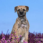 Border Terrier Dog, In Heather Poster