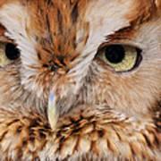 Boreal Owl Eyes  Poster