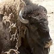 Bored Buffalo Poster