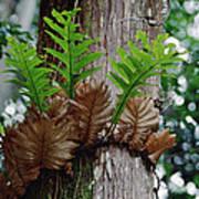 Borneo Fern A Primitve Ant Plant Poster