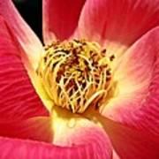 Borrowed Rose Poster