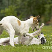 Borzoi Puppies Playing Poster