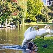 Boston Common Swan Lake Poster