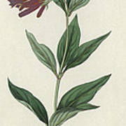 Botanical Engraving Poster
