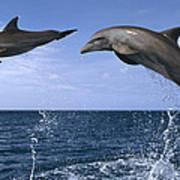 Bottlenose Dolphins Leaping Honduras Poster