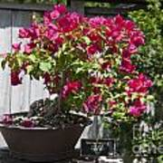 Bougainvillea Bonsai Tree Poster