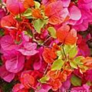 Bougainvillea Multi-colored Flowers Poster