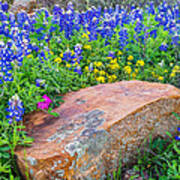 Boulder And Bluebonnets Poster by Thomas Pettengill