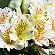 Bouquet Of Alstroemeria Poster