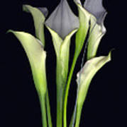 Bouquet of Callas Poster