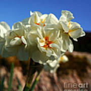 Bouquet Of Narcissus Poster