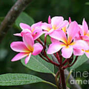 Bouquet Of Pink Plumeria Poster