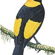 Bowerbird  Poster