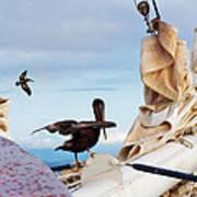 Bowsprit Pelicans Poster