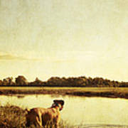 Boxer Dog By The Pond At Sunset Poster by Stephanie McDowell