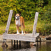 Boxer On Lake Dock Poster by Stephanie McDowell