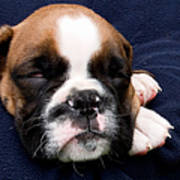 Boxer Puppy Sleeping Poster by Weston Westmoreland