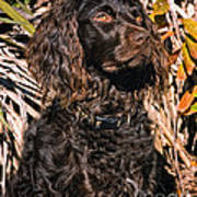 Boykin Spaniel Portrait Poster