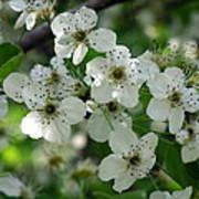 Bradford Pear Blooms Poster