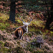 Braemar Stag Poster