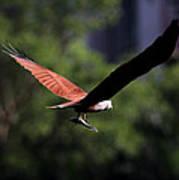 Brahminy Kite With Catch  Poster